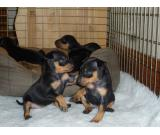 Registered Miniature Pinscher