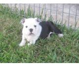 black and white english bulldog