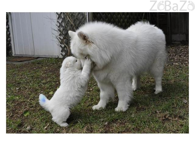 Cute Samoyed Puppies for sale Sydney - Free classifieds
