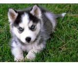 adorable  siberian husky up for re homing