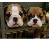 3 Stunning Bulldogs Puppies