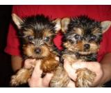 4 fantastic sweet teacup yorkie puppies for sale