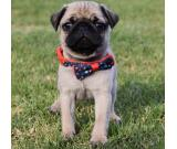 Pug Puppies Available Now.