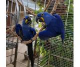 Blue & Gold Macaw male  looking forever home