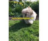 YOUNG HAVANESE PUPPIES AVAILABLE