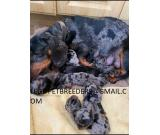 AFFORDABLE   DASCHUND PUPPIES FOR SALE NOW PRETTY AND ATTRACTIVE