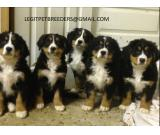 BERNESE MOUNTAIN PUPPIES AVAILABLE  BEAUTIFULL AND ATTRACTIVE