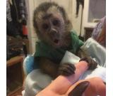 Baby Capuchin Monkeys for adoption..