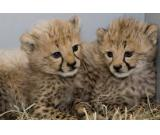 HEALTHY CHEETAH CUBS FOR ADOPTION