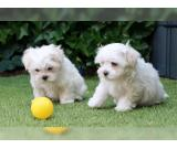 Maltese Puppies For Adoption with Papers
