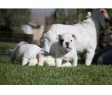 We have litter of 5 puppies quality pedigree bulldogs for sale