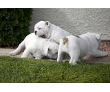 English Bulldog Puppies Kc Reg for sale