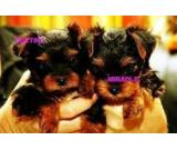 Cute and adorable teacup yorkie puppies available to loving hmes