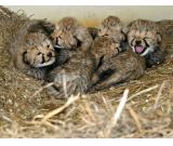 Cheetah Cubs, Lion Cubs and Tiger Cubs