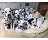 Beautiful Dalmatian Girl And Boys  Need Forever Homes