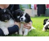 Newfoundlands puppies For Sale