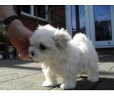 Beautiful Kc Reg maltese Puppies.