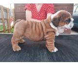 KC registered coat English bulldogs