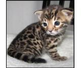 Bengal Cat for Sell