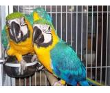 Gorgeous Male and Female Macaw parrots available now