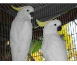 Wonderful set of white Cockatoos both  Male and Female Birds for adoption