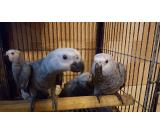 AFRICAN GREYS HANDREARED PETS
