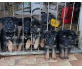 Black and dark black and gold german shepherd puppies papered