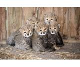 Adorable cheetah cubs|lion cubs|tiger cubs for sale