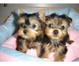 Toy Yorkshire Terrier for free adoption