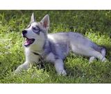 Siberian Husky Puppies (Male and Female)