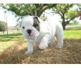 Cute and Adorable English Bulldog Puppies For Adoption