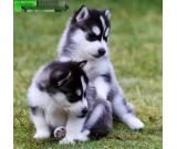 Male and female siberian huskies looking for a new home.