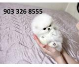 Akc registered Male and female Pomeranian puppies for adoption