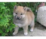 Shiba inu the excellent puppies you want!