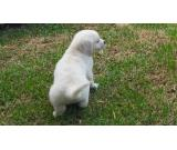 Golden retriever pedigree puppies looking for a new home
