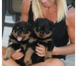 ##German Rottweiler Puppies Availbale