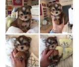 Awesome Yorkshire Terrier Puppies 9123350747