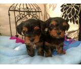 Fantastic Teacup Yorkie Puppies Available