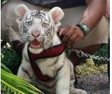 well trained 14 weeks old tiger cubs for sale