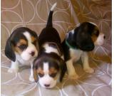 Top quality beagle puppies available for adoption