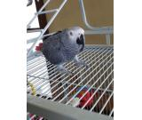 Hand Reared Certificate & Cage Congo African Grey Male - Very Tame and Talkative