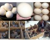 Ostrich Chicks and Fertile Ostrich eggs for sale (Emus & Rheas available too)