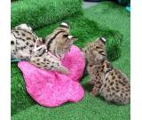 F1 Savannah kittens for adoption