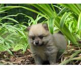 Micro Teacup Pomeranian Puppies £550