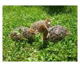 Ostrich and Emu chicks for sale at good prices