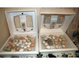FRESHLY LAID MACAW PARROT EGGS FOR SALE