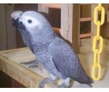 Africa Grey Parrots For Sale