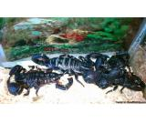 Black scorpions emperor and pandinus for sale