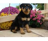 nice looking and adorable rottweiler puppies for adoption