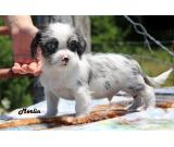 healthy and trained chihuahua puppy for rehoming